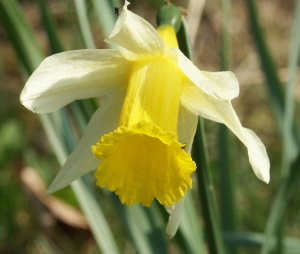 Narcissus Pseudonarcissus - flower of Gloucestershire