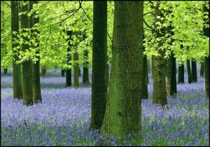 Bluebells, Ashridge, Hertfordshire
