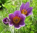 The pasque flower