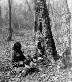 Ojibwe woman tapping for maple syrup