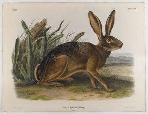 Hare 2 - Audubon